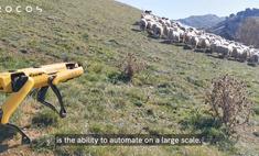 робопса spot научили пасти овец видео