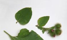 Как хранить сок из листьев лопуха?