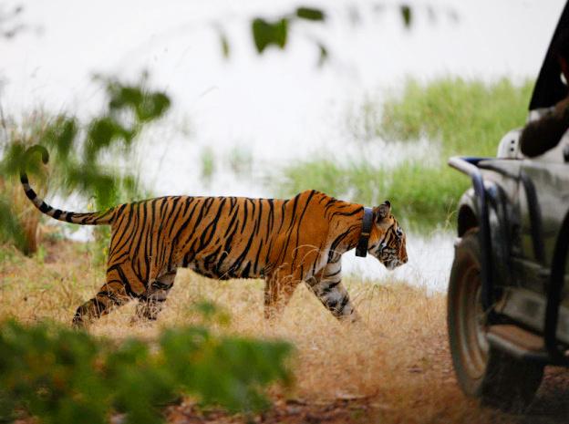 Индийский тигр.
