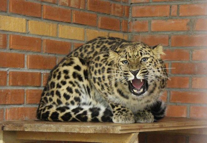 Дальневосточные леопарды в Красноярске