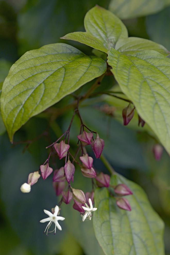 Цветок клеродендрум уход за ним