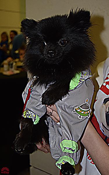 Майя, померанский шпиц, фото