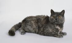 Нежная и чувственная кошка селкирк рекс