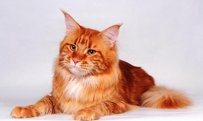 Кошки, популярные породы кошек в Ростове, породы кошек, мейнкуны, сфинксы, абиссинская кошка, британская короткошерстная, шотландская вислоухая кошка