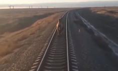 В Астраханской области поезд опоздал на 44 минуты из-за бегущего по рельсам верблюда (видео)
