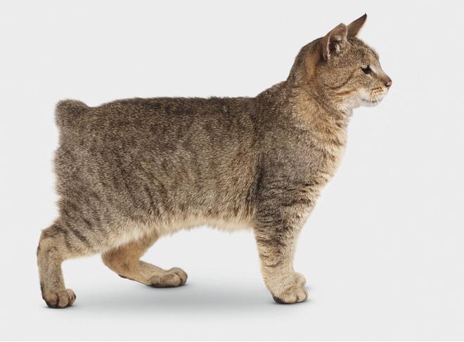 курильский бобтейл кошка