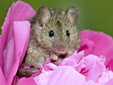 Аминокислоты увеличивают долголетие мышей на 12%