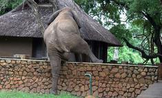 Проворный слон ловко перелез через забор ради фруктов (видео)
