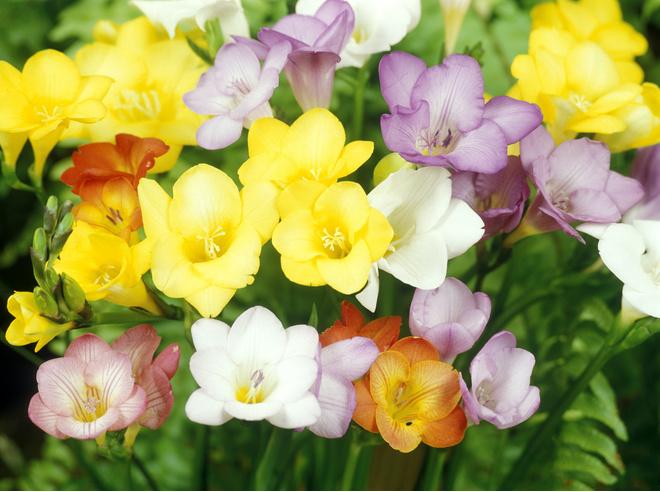 Фрезии в открытом грунте цветут с августа до первых заморозков