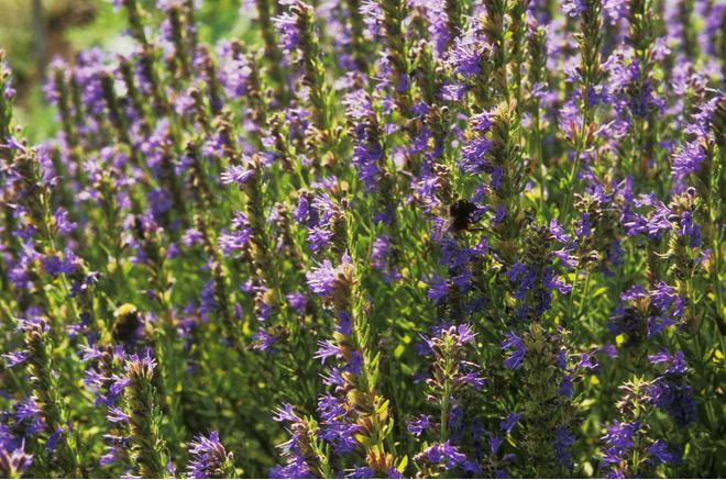 Обязательно посадите иссоп. Мой сад, огород 19