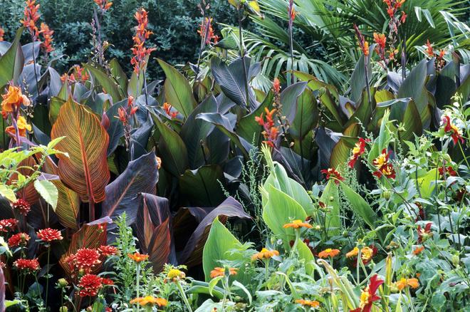 канны цветы выращивание