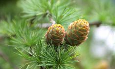 Сосновые шишки - природный лекарь со стародавних времен