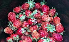 Сладка ягода - где брать в Челябинске