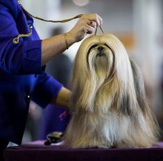 Содержание собаки лхаса апсо