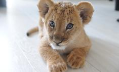 Лев и другие звери в домах новосибирцев