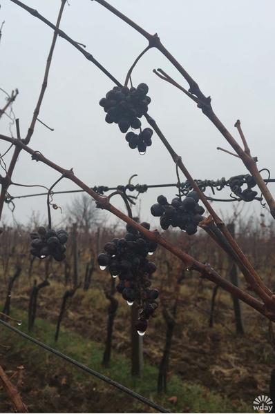 На винодельне Tarpos в Аранджеловац
