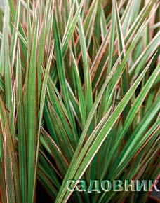 Marginata Bicolor (Драцена окаймленная)