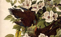 Четырехтомник «Птицы Америки» продан за 7,3 млн английских фунтов