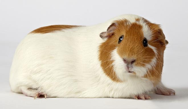 Все о морских свинках в домашних условиях отзывы 788