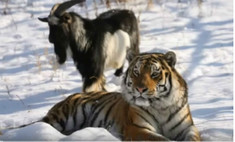 Тигр Амур покусал козла Тимура