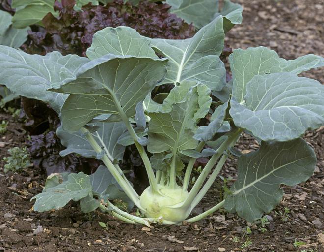 Кольраби капуста рецепт салата