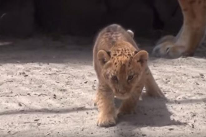 в Новосибирском зоопарке родились лилигрята