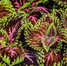 Колеус блюме: как вырастить яркую мозаику из листьев