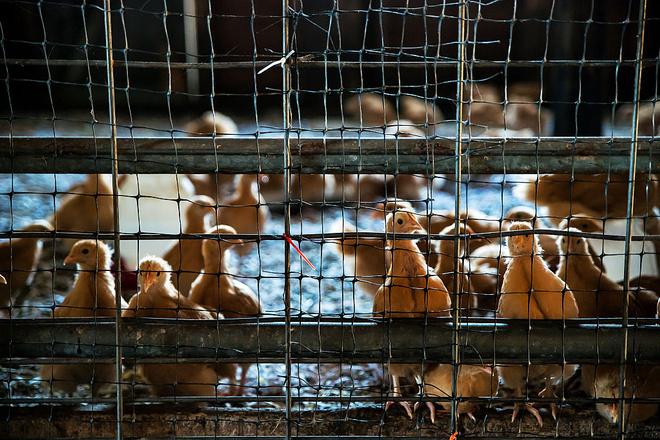 К чему снятся цыплята?
