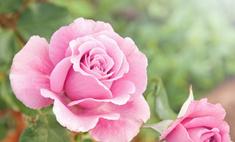 Как правильно пересаживать комнатную розу