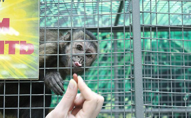 обезьянки, Новосибирск