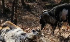 Тигр Амур и козел Тимур вместе переждали снегопад