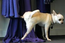 Звездный пес справил нужду на платья