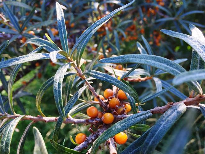 Лечебные свойства листьев облепихи