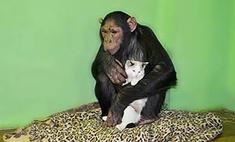 В Иркутске шимпанзе взяла на воспитание бездомного котенка