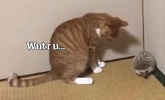 Кот впервые в жизни видит ежа (видео)