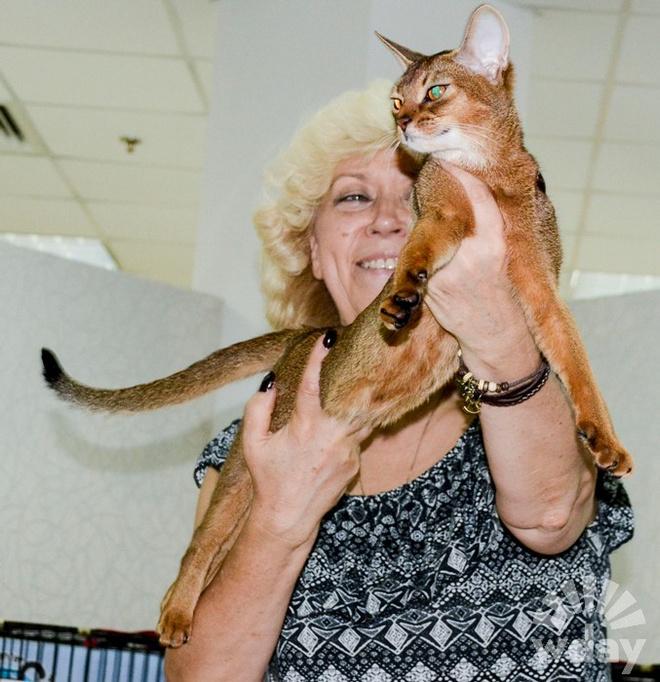 порода кошек абиссинская порода