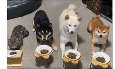 кошка стала собачьей стае едят синхронно видео