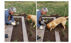 Собака-копака, помогающая хозяину с рассадой, полюбилась Интернету (видео)