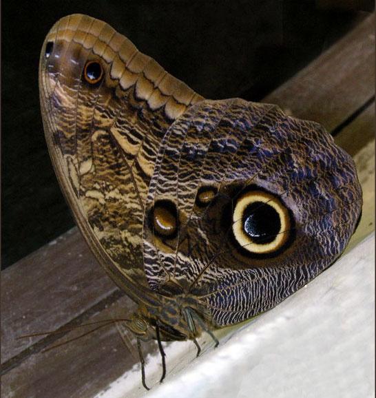 Совиная бабочка, московский зоопарк