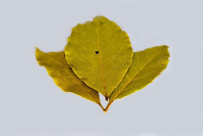 лавровый лист от аллергии
