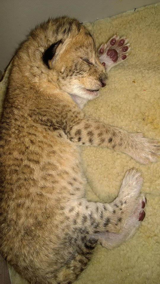 В иркутской зоогалерее родились львята