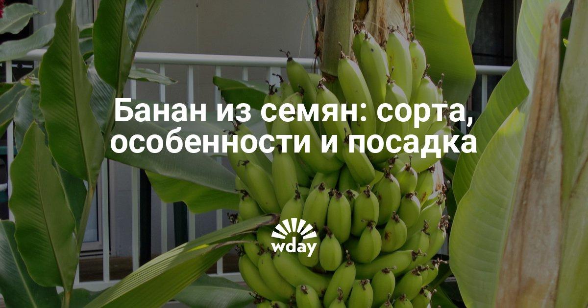 Банан выращивание в домашних условиях 419