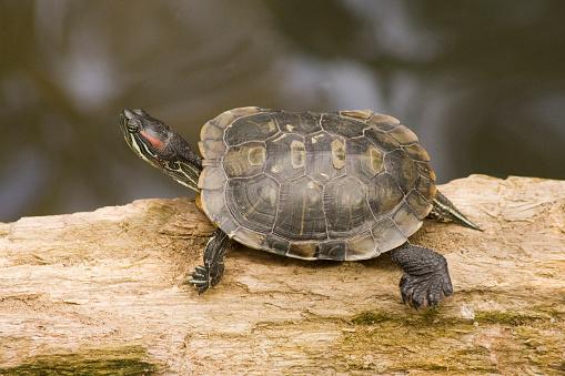 чем можно кормить красноухих черепах