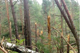 Так выглядит сегодня лес в Смоленском Поозерье после ветровала