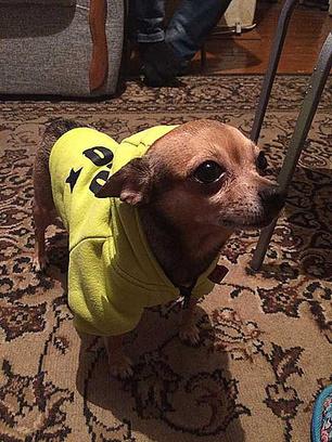 Тойтерьер, стильная одежда для собак