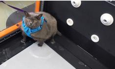 видео котором тучная кошка филонит беговой дорожке вирусным