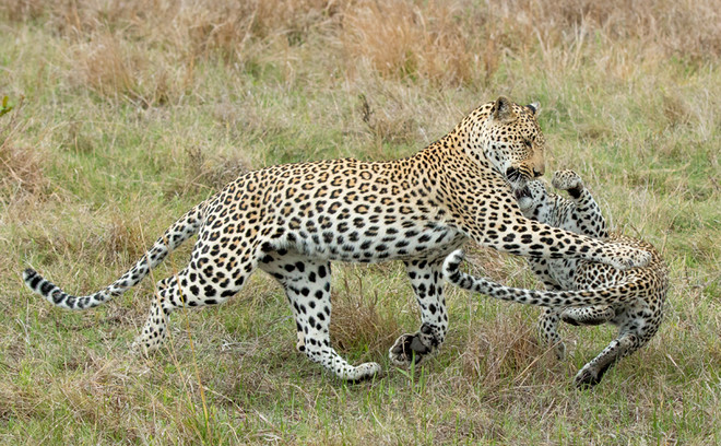 Мама леопарда наказала детеныша