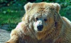 В Кузбассе появился хоккейный медведь-предсказатель