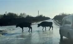 Коровы неловко переходят обледеневшую дорогу (видео)