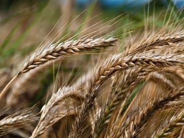 Продажа зерна